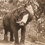 Unga, vilsna hanar – vad elefanter kan säga oss om behovet av gentlemän